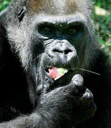 Oldest Gorilla Dies 5790756