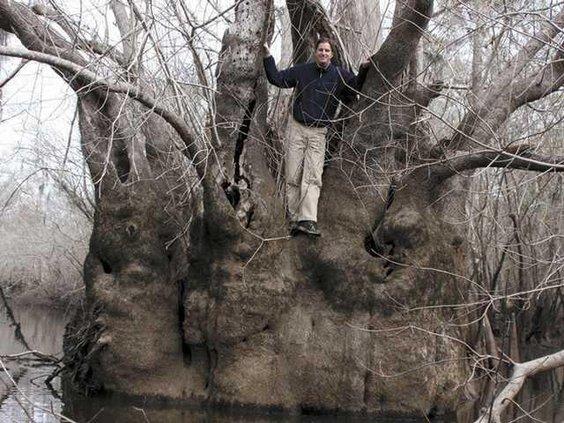 W Giant trees LEAD