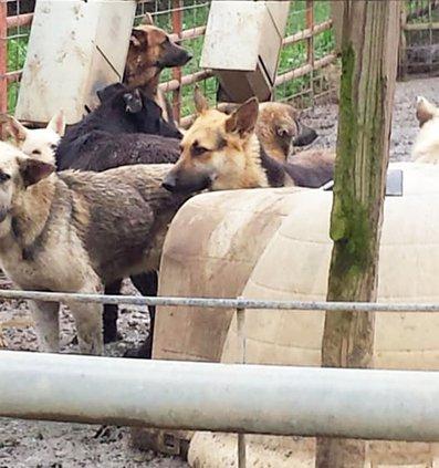 German shepherds 2