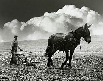 plowing with a  mule