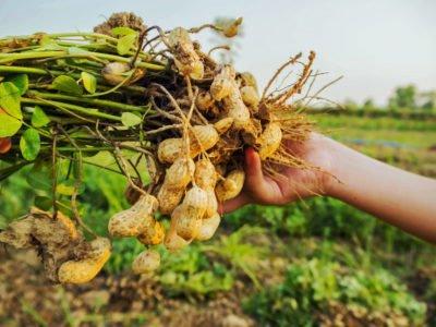 peanut plants